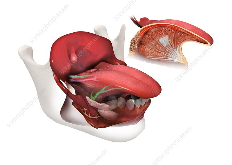 tongue anatomy artwork stock image c0151496 science