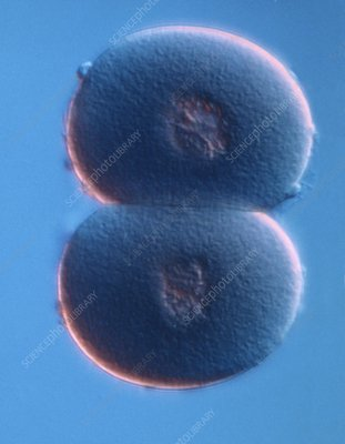 Embryo development, light micrograph