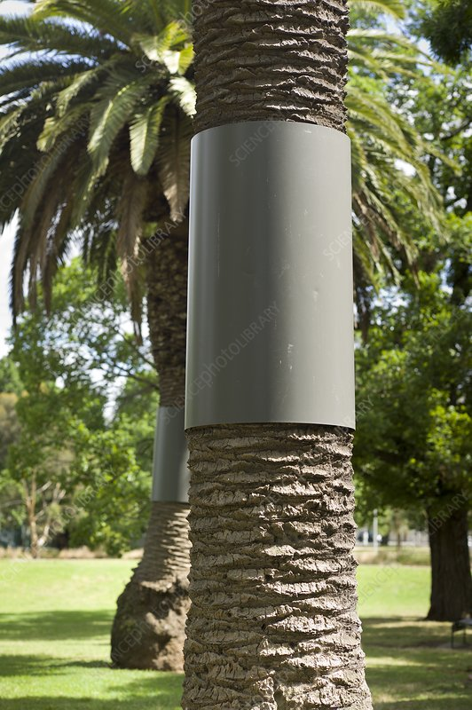 Palm trees fitted with possum guards - Stock Image - C015 ...