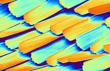 Scales on a butterfly wing, SEM