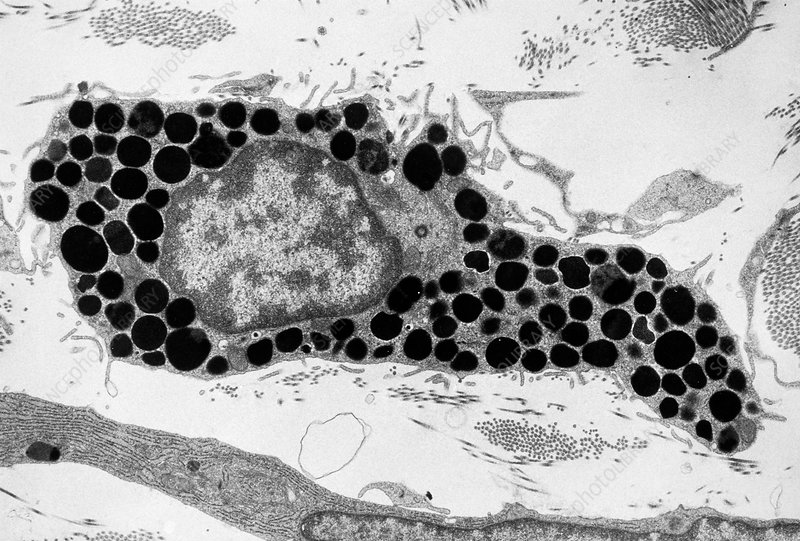 Mast Cell Tem Stock Image C015 1768 Science Photo Library