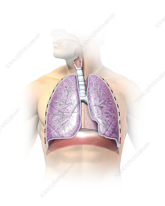 Respiratory system, artwork