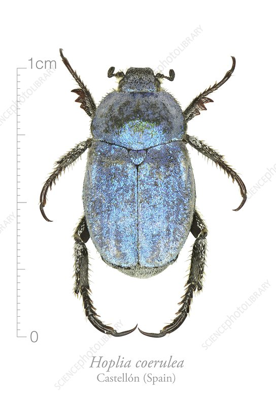 Male Hoplia beetle
