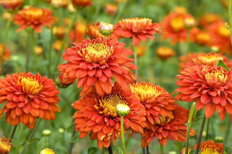 Chrysanthemum 'Chestnut Parade'