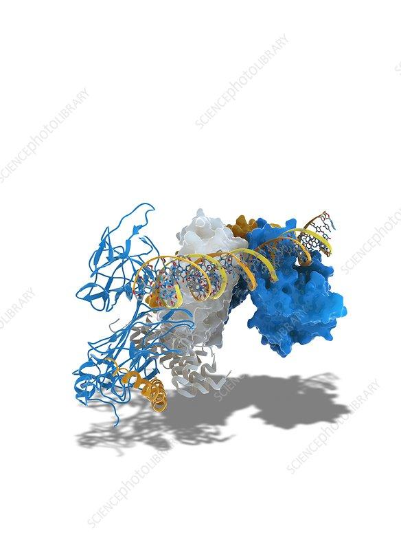 Notch transcription, molecular model