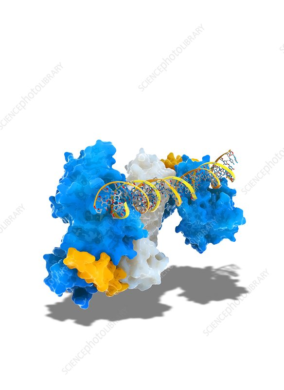 Notch transcription, molecular model