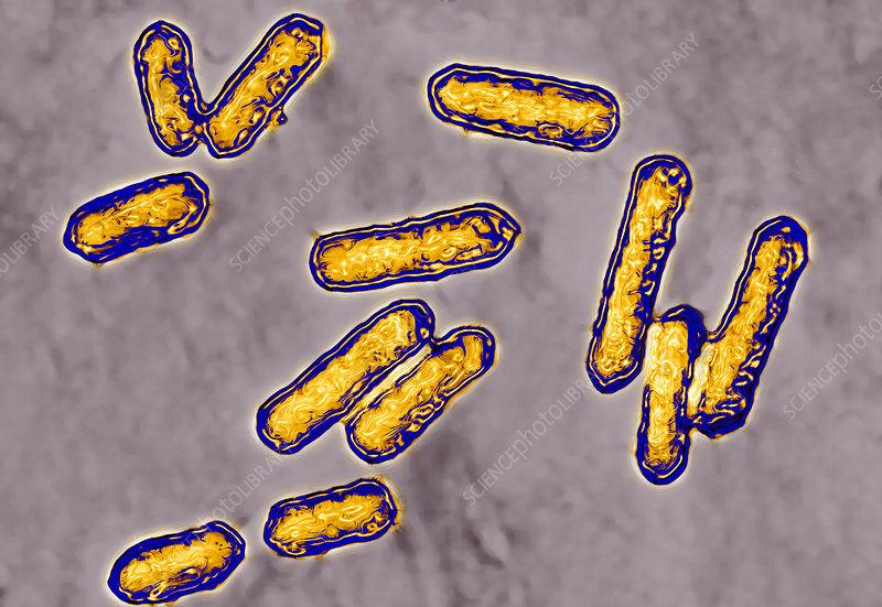 Listeria sp. bacteria, TEM