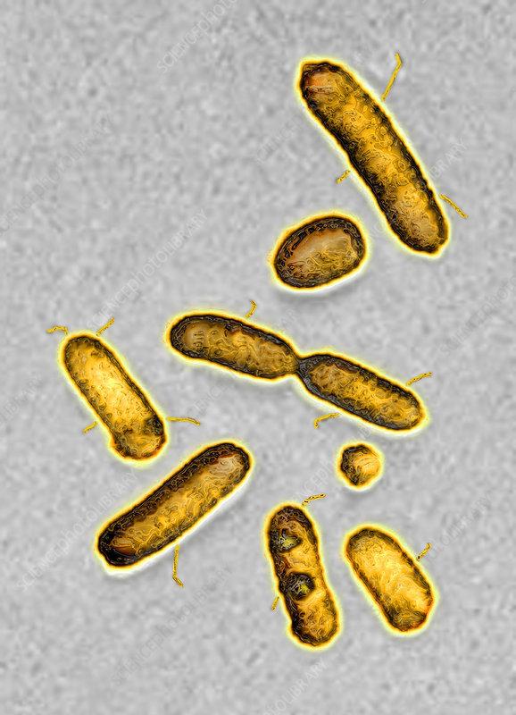 Pseudomonas aeruginosa bacteria, TEM