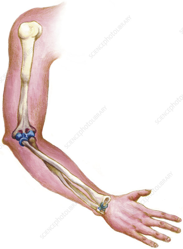 arm, anatomy