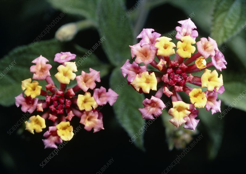 Spanish flag (Lantana camara) flowers