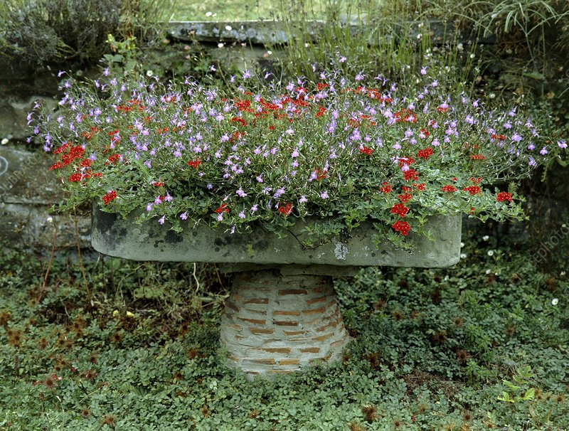 Verbena and Lobelia in a trough