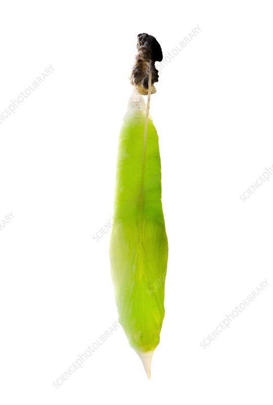 Banana skipper butterfly chrysalis