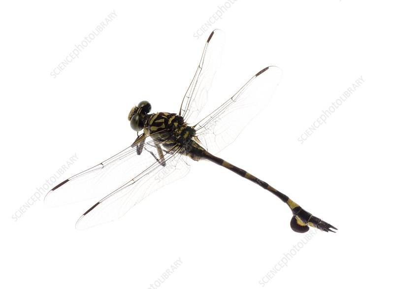 Golden flangetail dragonfly