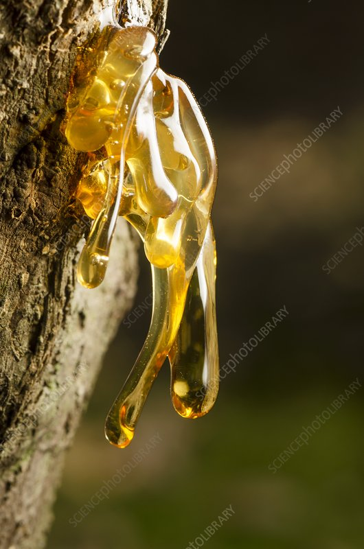 Resin on a tree
