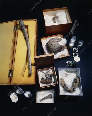 Collection of hominid remains