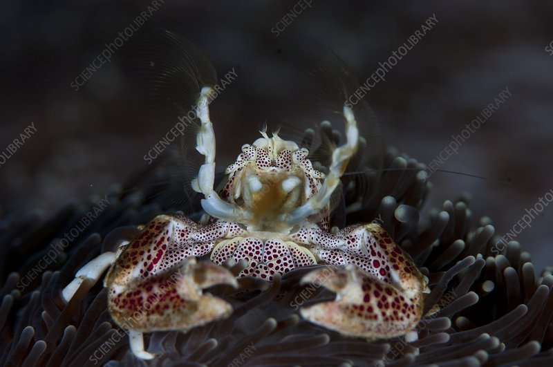 Filter feeding porcelain crab