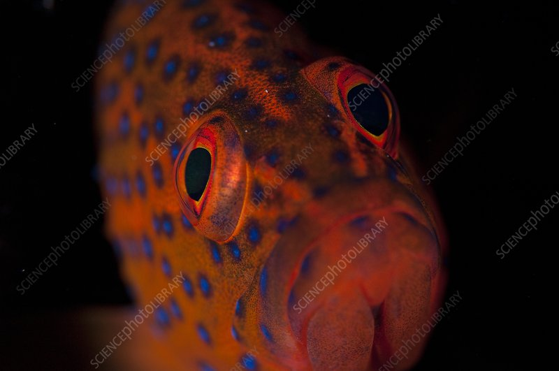 Portrait of coral grouper