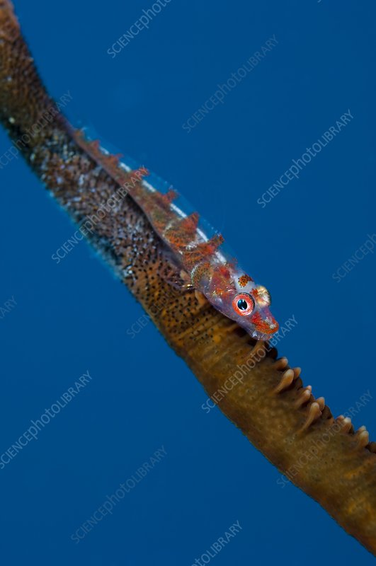 Whip goby with eggs