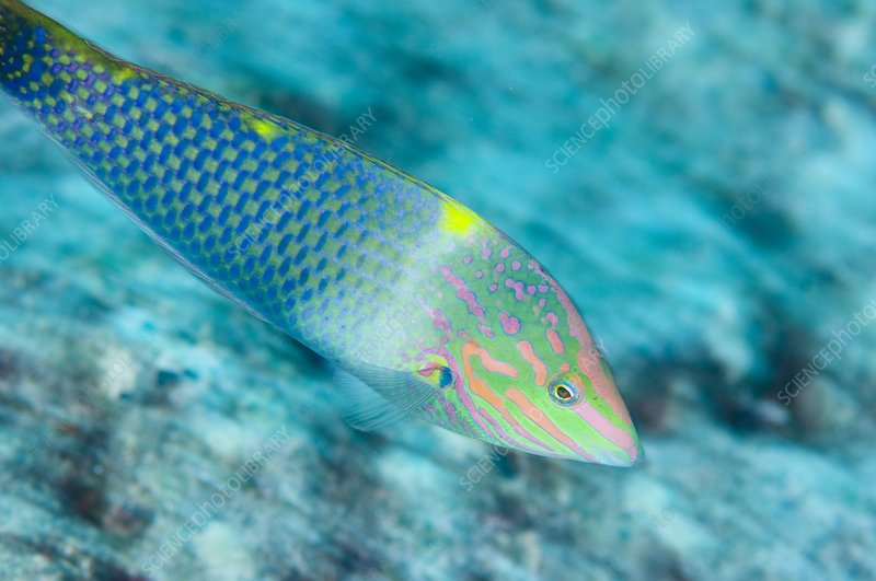 Colourful checkerboard wrasse in motion