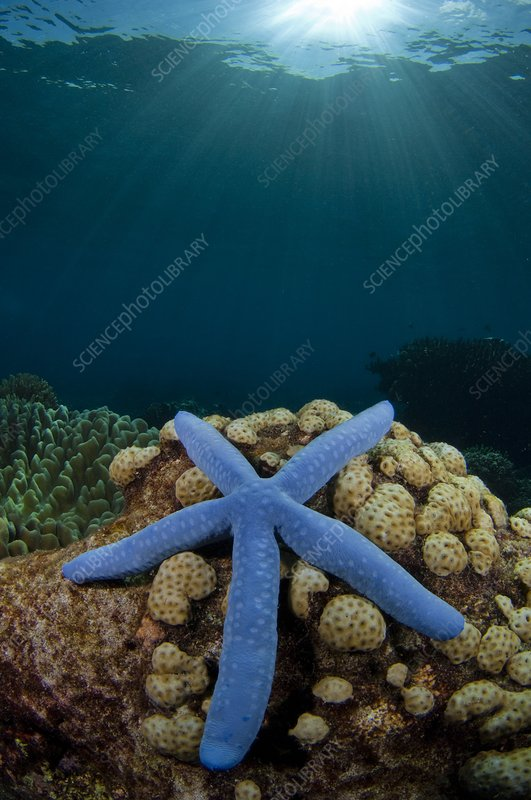 Blue starfish in Indonesia