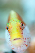 Portrait of a freckled hawkfish
