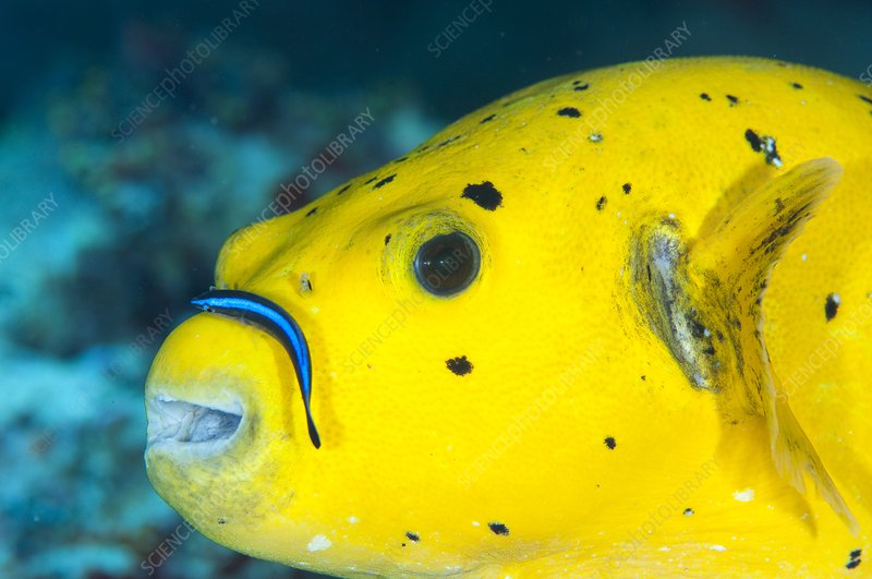Pufferfish with cleaner wrasse