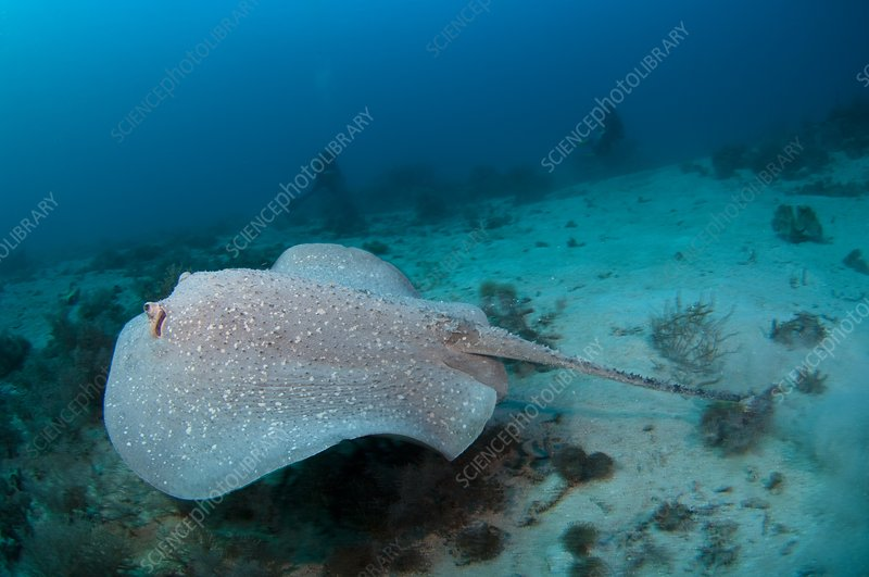 Porcupine ray in Indonesia
