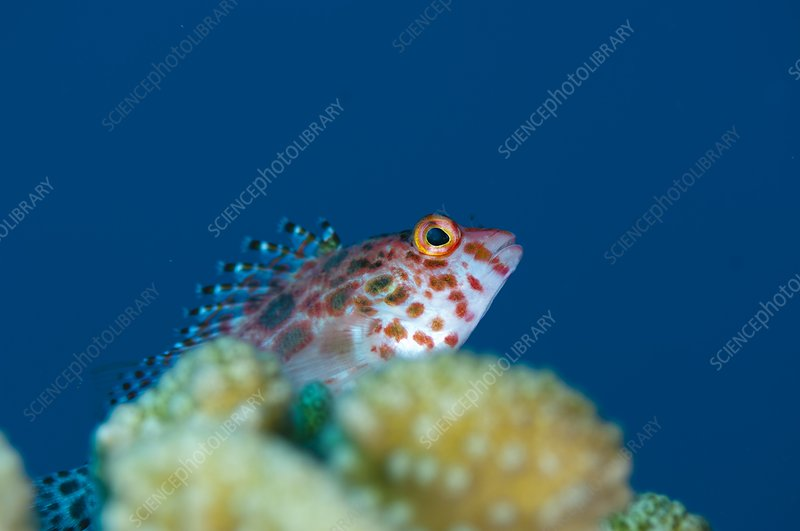 A pixy hawkfish on reef in the Maldives