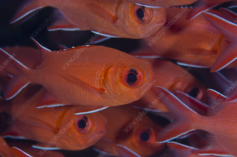 School of red soldierfish