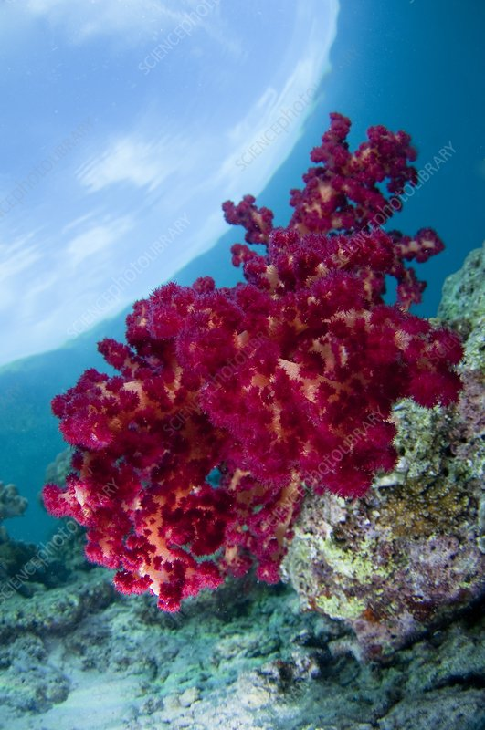 Red soft coral in Indonesia