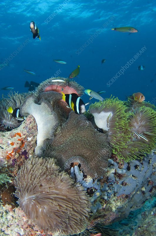 Healthy reef scene with anemonefish