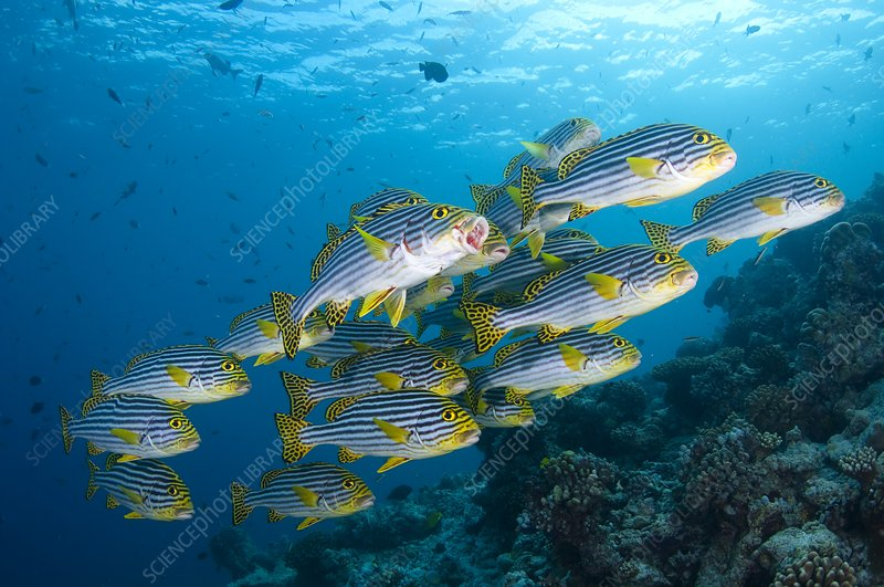 School of oriental sweetlips