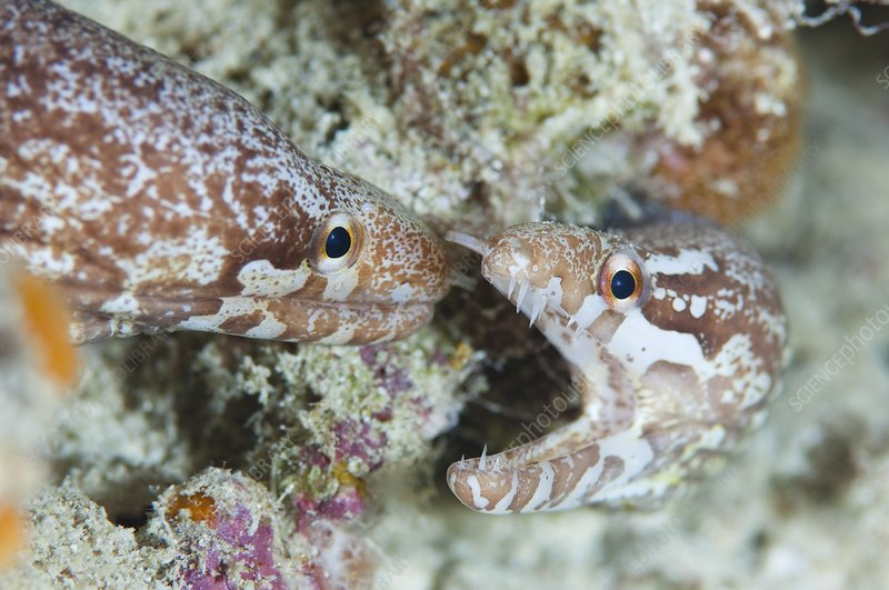 Two bar tailed moray eels