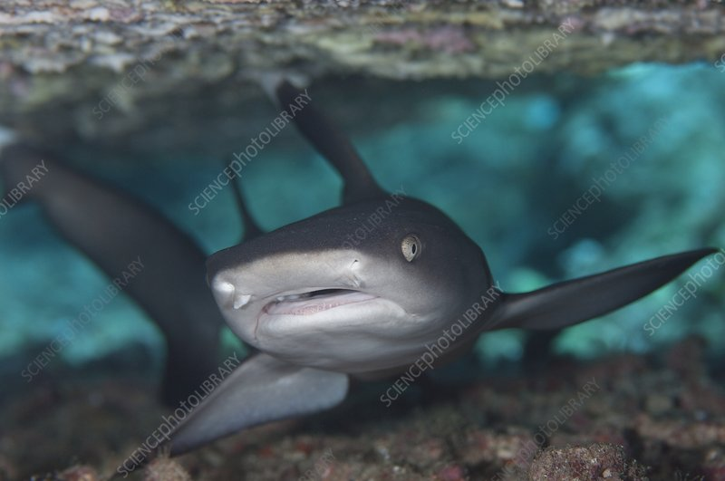 A whitetip reef shark in crevice