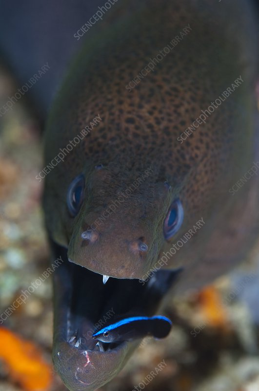 Moray eel being cleaned by wrasse