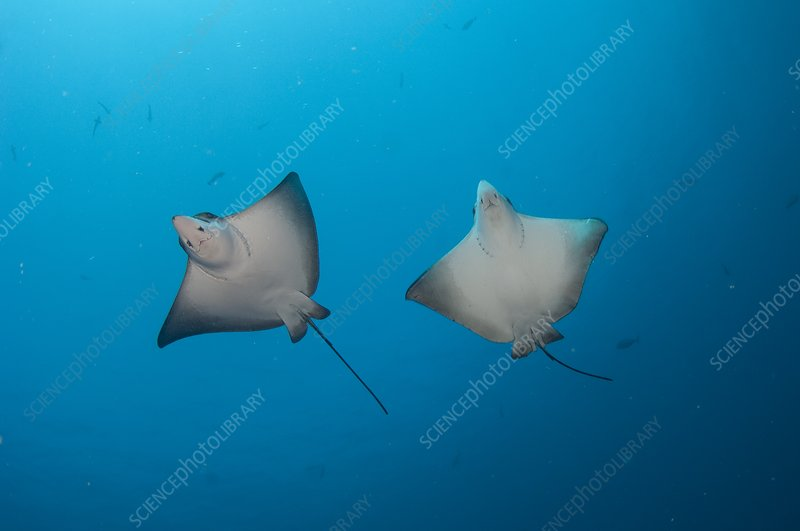 Pair of spotted eagle rays