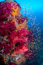 Anthias swimming over healthy reef