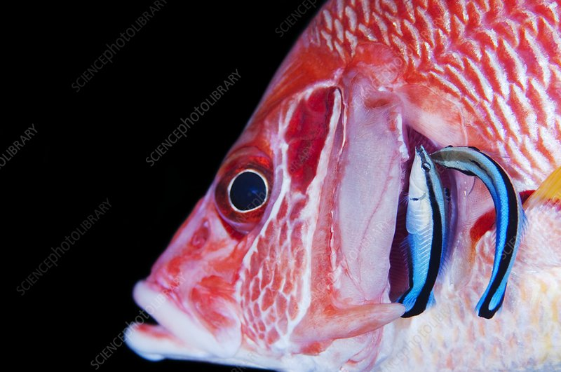 Cleaner wrasse in gills of squirrelfish