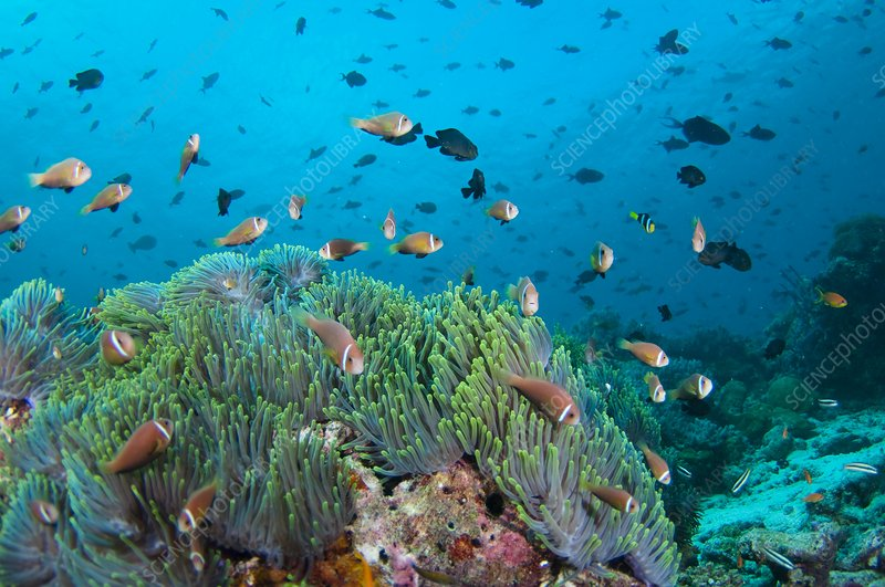 Large community of anemonefish