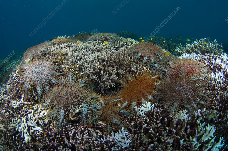 Starfish feeding on coral reef