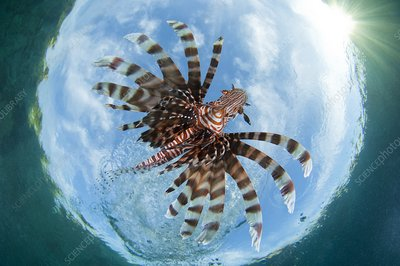Lionfish from below