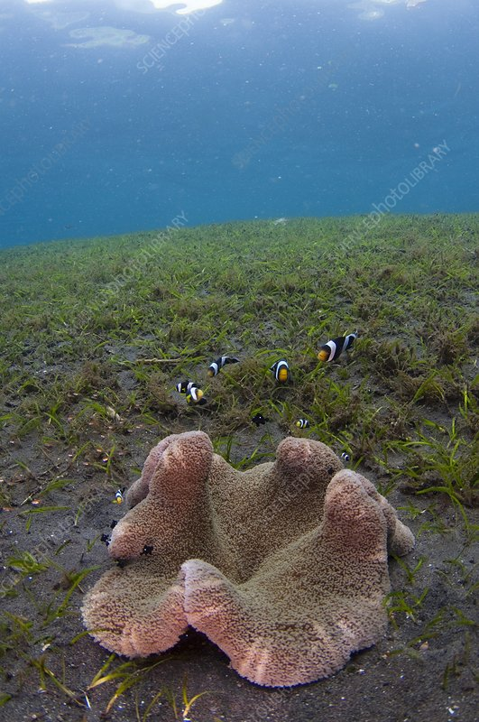 Anemonefish in seagrass in Indonesia