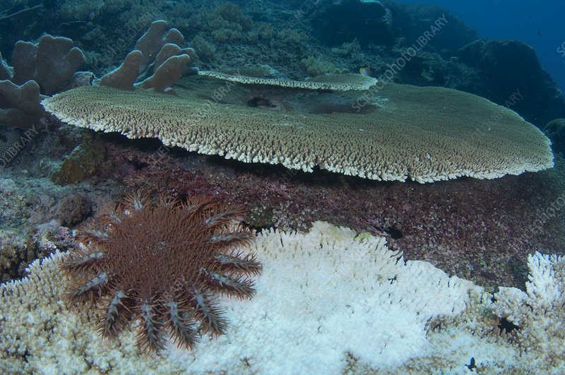 Starfish destroying the reef as it feeds