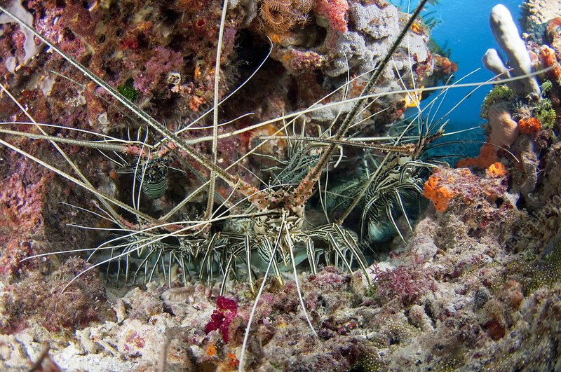 Group of spiny lobster