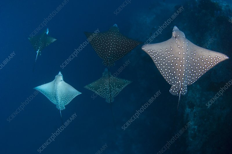 School of spotted eagle ray