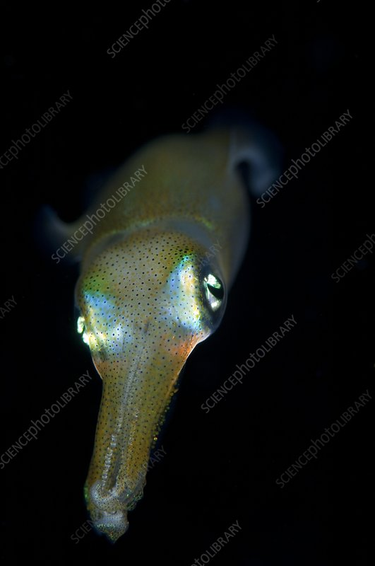 Young bigfin reef squid at night