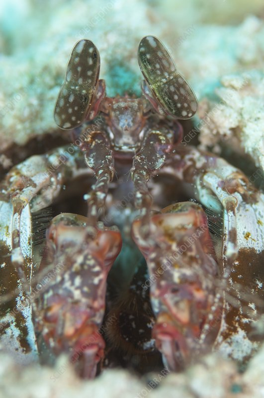 Portrait of mantis shrimp