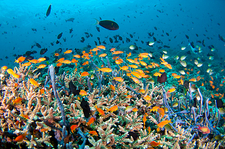 Fish over a healthy coral reef