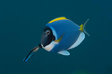 Powderblue surgeonfish with wrasse