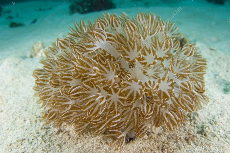 A clump of soft coral in Indonesia